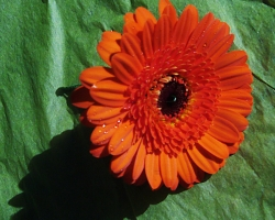 Orange Buttonholes - Minnie Gerbra BH26