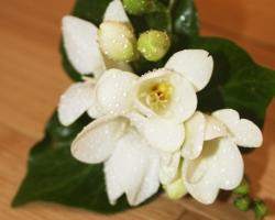 Cream Buttonholes - BH33