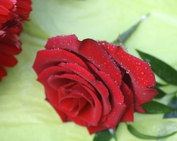 Red Buttonholes BH18